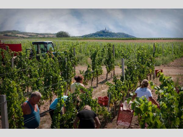 Jó borban reménykedhetnek a Pannonhalmi Borvidék gazdái, az időjárás kedvezett a szőlőtermesztésnek.
